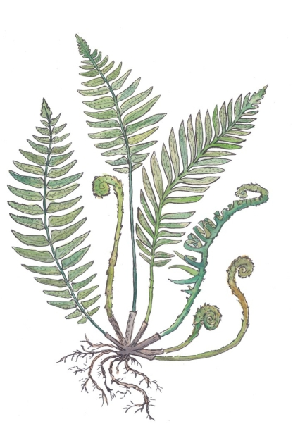 Sword Fern Watercolor Isolated small